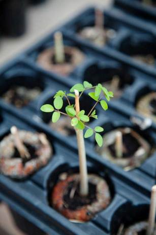 seedling LATimes