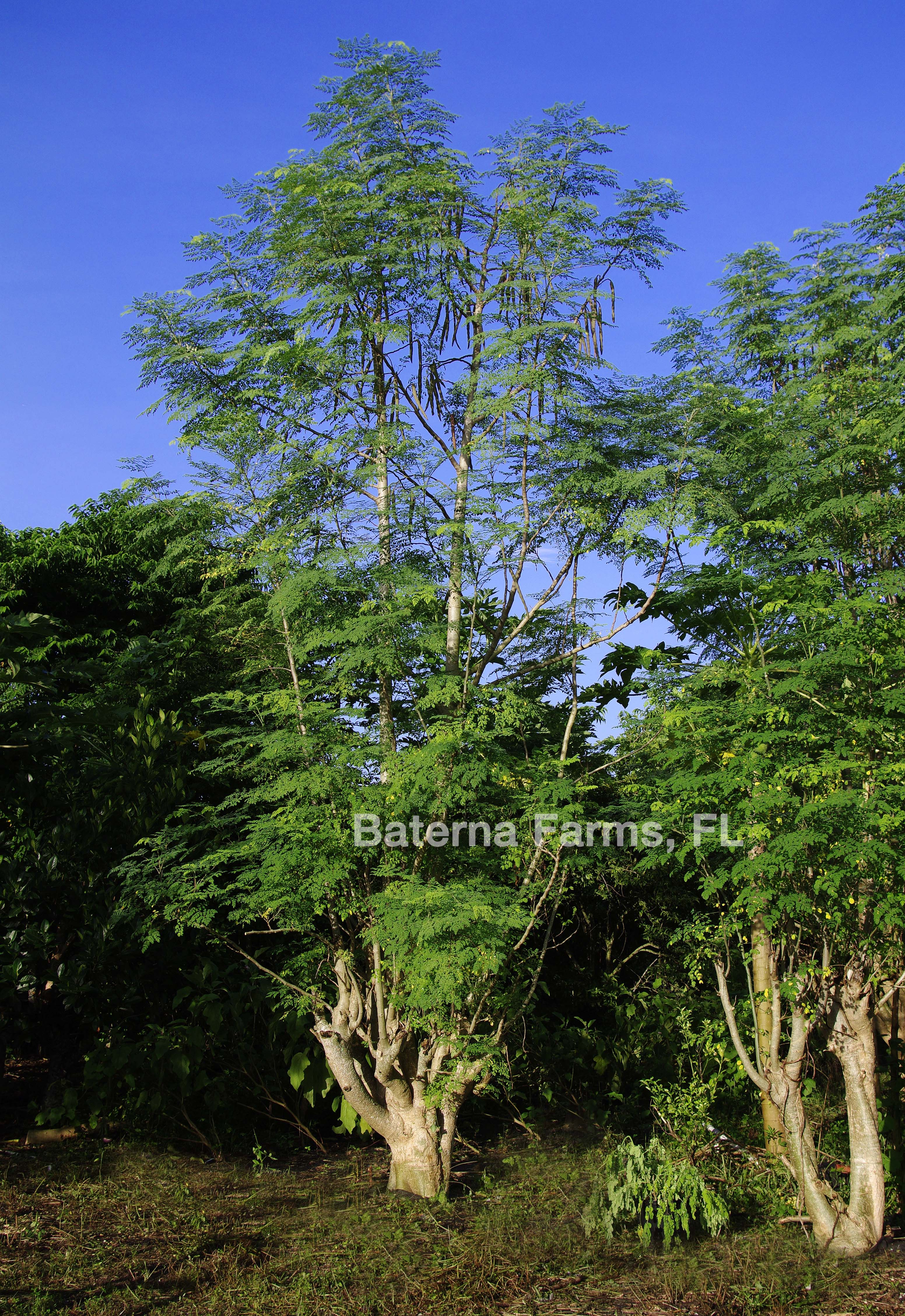Baterna Farms Grows Moringa Trees That Are Good for