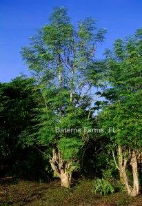 Baterna Farms trees