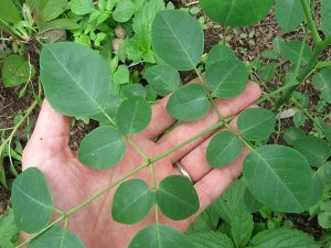miracle-tree-moringa